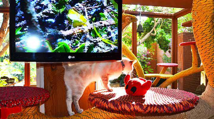 Kimba with videos at Cat-Villa